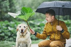Rainy day with dog in nature. Young man with umbrella holding leaf of burdock above his sad labrador retriever stock image
