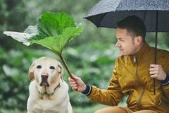 Rainy day with dog in nature. Young man with umbrella holding leaf of burdock above his sad labrador retriever royalty free stock photo