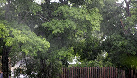 Rainy day. Downpour of rain on maple trees Stock Image