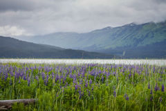 Rainy Day. A field of Lupine on a rainy day Stock Photos