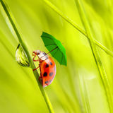 Rainy day. Funny picture from nature. Little ladybug with umbrella walking on the grass Stock Image