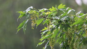 Rainy day. Green tree branches under the falling rain. Hesse, Germany stock footage