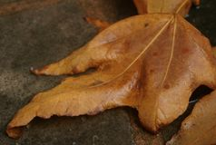 Autumn Sycamore Lying Leaf Close-Up stock photography