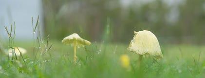 Rainy day panorama with yellow mushrooms Royalty Free Stock Photos