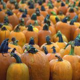 Rainy Day Pumpkin Patch. Pumpkin patch photo taken on a rainy autumn day, all of the pumpkins are covered with rain Royalty Free Stock Images