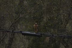 Rainy Day Red Shouldered Hawk on a Wire. A red-shouldered hawk perches on a power line on a rainy day in North Floirda stock images