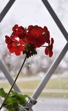 Rainy day. Silhouette of flower in the window. stock photos