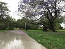 Jacaranda Purple stock image