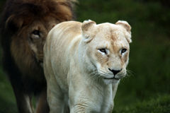 Rainy Days. Lion following a Lioness to a sheltered spot on a rainy day Royalty Free Stock Photos
