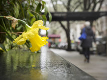 Free Rainy Drooping Daffodil Stock Images - 93837374