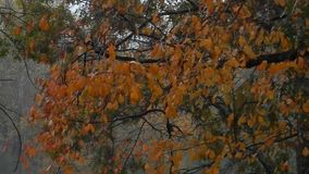 Rainy, foggy, windy, blowing, orange oak leaves on oak tree. Whether it's Fall Tree reflection,  a Super Moon, Autumn leaves on the bottom of the lake. Leaf stock video footage
