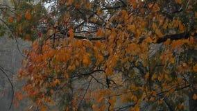Rainy, foggy, windy, blowing, orange oak leaves on oak tree stock video footage