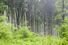 Rainy forest scenery Royalty Free Stock Image