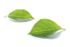 Rainy fresh green leaf isolated Royalty Free Stock Images