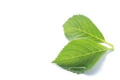 Rainy fresh green leaf isolated Royalty Free Stock Image