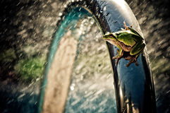Rainy frog. A frog sitting on a pool railing Royalty Free Stock Photo