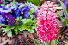 Rainy Hyacinths Stock Photos