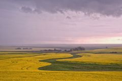 Canola in the Rain royalty free stock photo