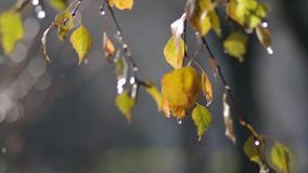 Rainy leafs stock video footage