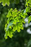 Rainy maple leaves Stock Photography
