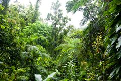 Daintree Rainforest near Cairnes, rain in green jungle, Queensland, Australia stock photography