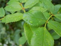 Wet leafs royalty free stock photos