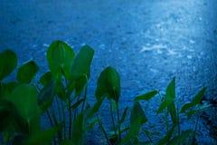 Free Rainy Night River Plants, Fresh Large Green Leaves Growing, Meditation Haiku Royalty Free Stock Photo - 126968225