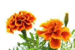 Rainy orange marigold blooming in soft mood. Japanese rainy orange marigold blooming in soft mood stock image