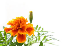Rainy orange marigold blooming in soft mood #2. Japanese rainy orange marigold blooming in soft mood royalty free stock photo
