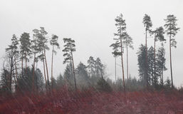 Rainy pine forest Royalty Free Stock Photography