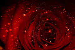 Rainy rose. Deep red rose, brilliant rainy drops Stock Photos
