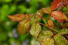 Rainy rose leaves. Rain drops on rose leaves royalty free stock image
