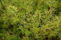 Rainy Rosemary Stock Photography