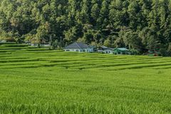Rice field on the north of Thailand Royalty Free Stock Images