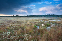 Rainy sky over swamp with cotton-grass Royalty Free Stock Photography