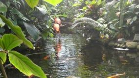 Rainy tropical creek, two flamingos stock video