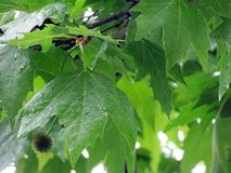 Rainy weather. Branches and leaves of platan tree under rain Royalty Free Stock Image