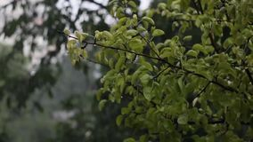 Rainy weather leaves moving by the drops. Drops of rain falling on tree and green leaves in dull weather stock footage