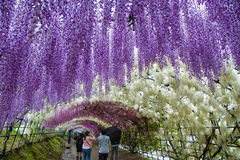 Rainy Wisteria Tunnel of Kawachi. Visitors throng to the 200-meter-long blooming wisteria tunnels of Kawachi Fuji-en, even in the rain Royalty Free Stock Photo
