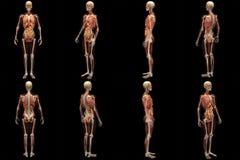 Raio X de esqueleto com músculos e órgãos internos foto de stock royalty free