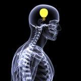 Raio X de esqueleto - idéia 2 Fotos de Stock