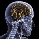 Raio X de esqueleto - metade de uma mente Foto de Stock Royalty Free
