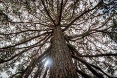 Raios claros através da árvore alta de Nova Zelândia Imagem de Stock