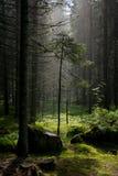 Raios claros do sol da floresta Fotos de Stock Royalty Free