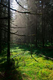 Raios claros do sol da floresta Imagens de Stock