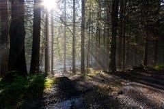 Raios claros do sol da floresta Fotografia de Stock