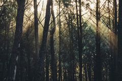 Raios da luz solar através das árvores na floresta argentina fotos de stock royalty free