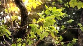 Raios de luz do sol na folha verde filme