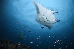 Raios de Manta que deslizam sobre mergulhadores em Maldivas fotos de stock royalty free