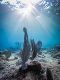 Raios de sol e opiniões corais de Curaçau fotografia de stock